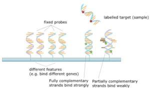 microarray3